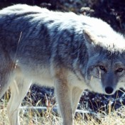 The shooting occurred last month on Fernwood Avenue, amid an uptick in coyote sightings in the area.