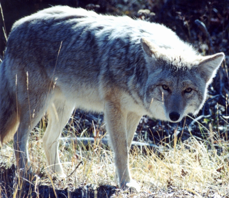 With the recent lack of rainfall, many coyotes are entering into residential neighborhoods.